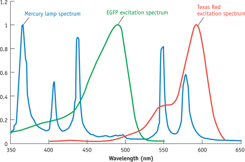 Mercury lamp, EGFP excitation, and Texas Red excitation spectra