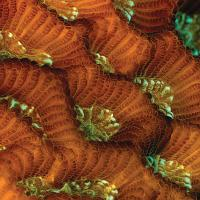 Honeycomb Coral
