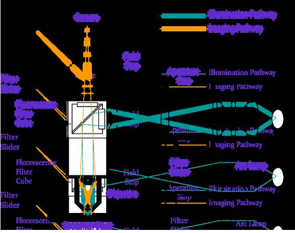 Epifluorescence Microscope Schematic