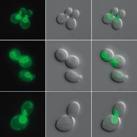 Budding Yeast Cells